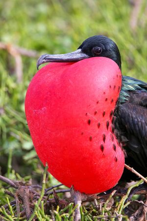 minor: Male Great Frigatebird (Fregata minor) on Genovesa Island, Galapagos National Park, Ecuador