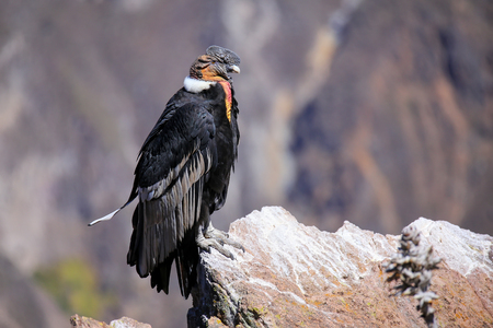 wingspan: Andean Condor (Vultur gryphus) sitting at Mirador Cruz del Condor in Colca Canyon, Peru. Andean condor is the largest flying bird in the world by combined measurement of weight and wingspan