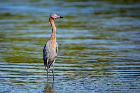 wading: Reddish egret (Egretta rufescens) wading in water Stock Photo