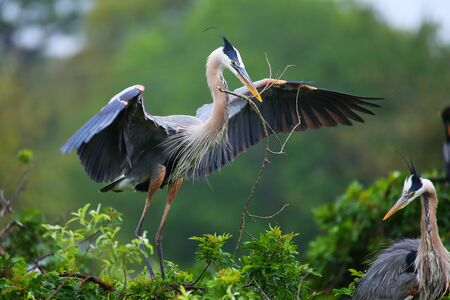 Great Blue Heron (Ardea herodias) with nesting material in its beak. It is the largest North American heron.