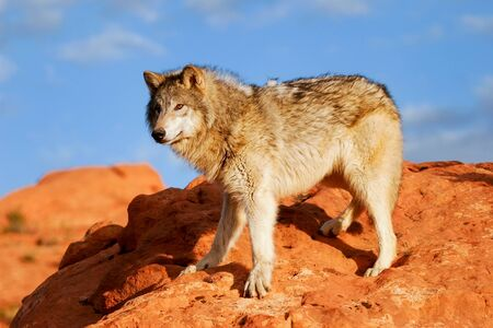 canis: Gray wolf (Canis lupus) in a desert with red rock formations Stock Photo