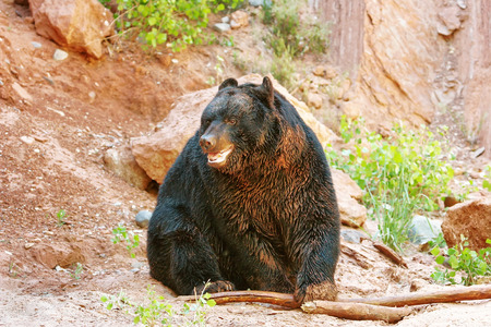 omnivore: American black bear (Ursus americanus) playing with a stick