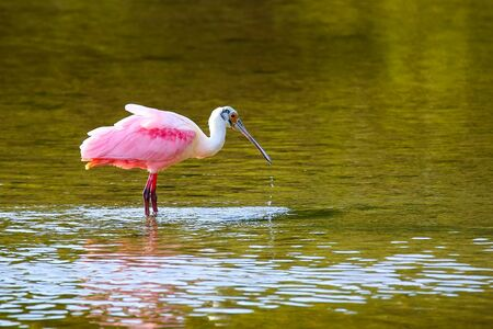 wading: Roseate spoonbill (Platalea ajaja) wading in water Stock Photo