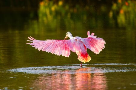 Roseate spoonbill (Platalea ajaja) spreading wings Stock Photo