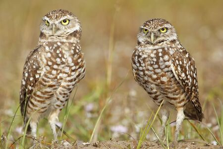 athene: Burrowing Owls (Athene cunicularia) standing on the ground Stock Photo