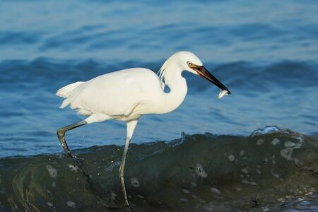 morph: Reddish egret (Egretta rufescens) white morph hunting Stock Photo