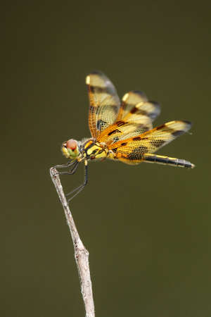 pennant: Halloween pennant (Celithemis eponina) dragonfly perched on a stick Stock Photo