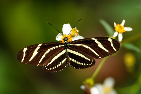 Zebra Longwing butterfly (Heliconius charithonia) on a flower