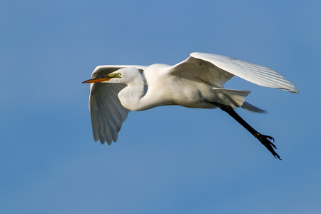 Great Egret (Ardea alba) flying in blue sky