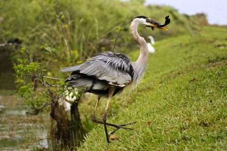 Great blue heron (Ardea herodias) with a catch