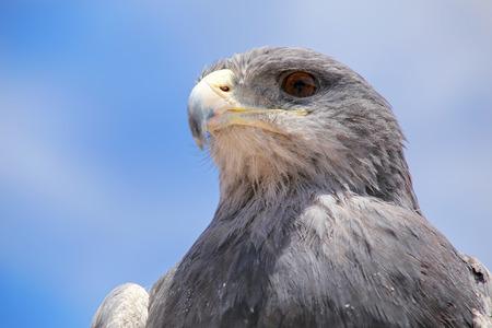 eagle canyon: Black-chested buzzard-eagle (Geranoaetus melanoleucus) at the market in Maca, Colca Canyon, Peru.