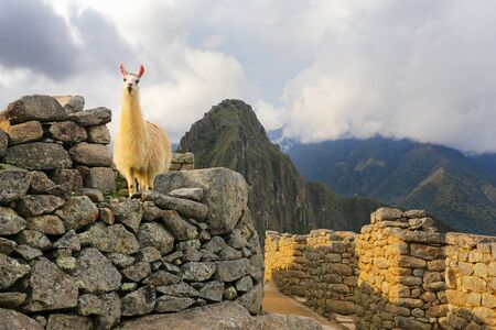 Llama standing at Machu Picchu citadel in Peru. In 2007 Machu Picchu was voted one of the New Seven Wonders of the World. Stock Photo