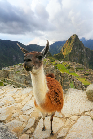 voted: Llama standing at Machu Picchu overlook in Peru. In 2007 Machu Picchu was voted one of the New Seven Wonders of the World. Stock Photo