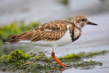 is well known: Ruddy Turnstone (Arenaria interpres) on the beach of Paracas Bay, Peru. Paracas Bay is well known for its abundant wildlife.