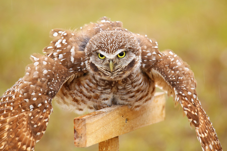athene: Burrowing Owl (Athene cunicularia) spreading wings in the rain Stock Photo