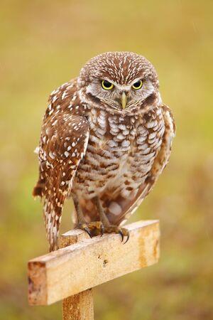 athene: Burrowing Owl (Athene cunicularia) sitting on a pole Stock Photo