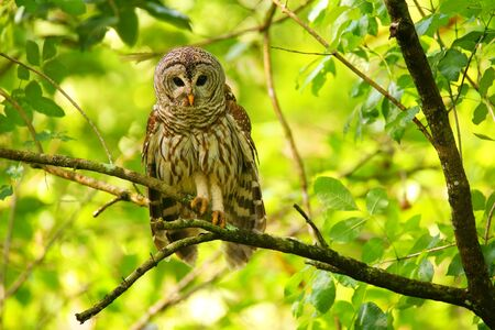barred: Barred owl (Strix varia) sitting on a tree. Barred owl is best known as the hoot owl for its distinctive call
