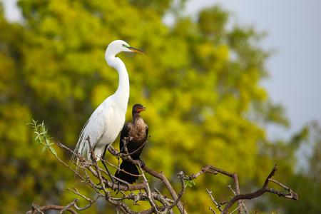 Great Egret (Ardea alba) sitting on a tree branch