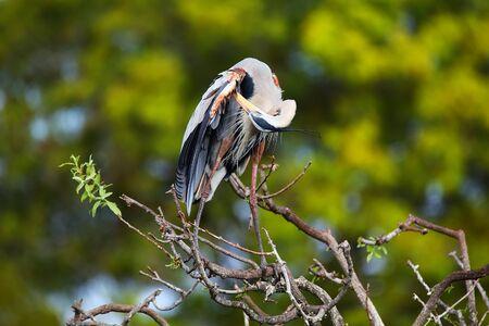 herodias: Great Blue Heron (Ardea herodias) preening its feathers. It is the largest North American heron.