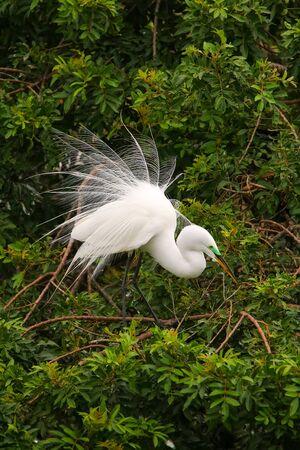 Great Egret (Ardea alba) showing breeding display Stock Photo