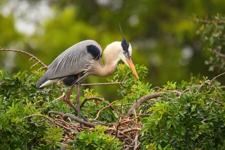 Great Blue Heron (Ardea herodias) standing on a nest. It is the largest North American heron. Stock Photo