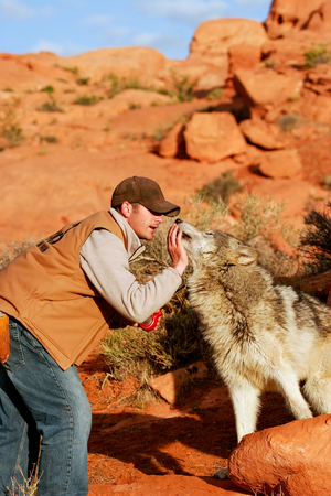 canis: Gray wolf (Canis lupus) with an animal trainer Editorial