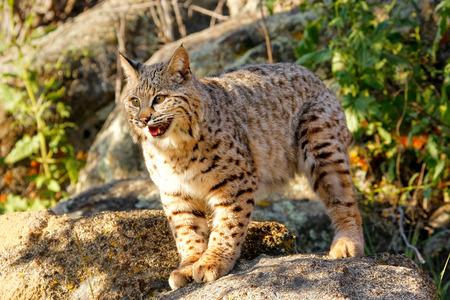 bobcat: Lince rojo (Lynx rufus) de pie sobre una roca