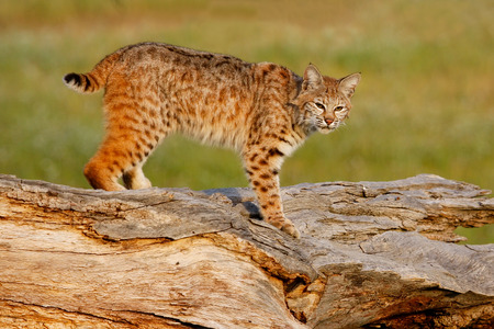 Bobcat (Lynx rufus) standing on a log