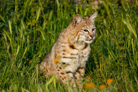 lince rojo: Bobcat (Lynx rufus) sitting in a grass with flowers Foto de archivo