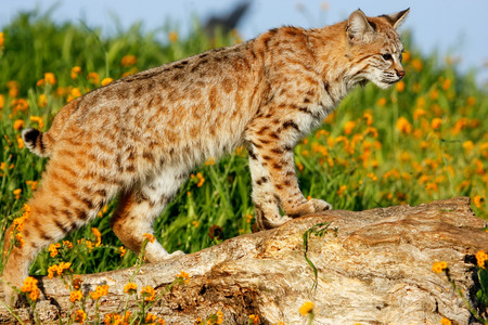 lince rojo: Bobcat (Lynx rufus) standing on a log
