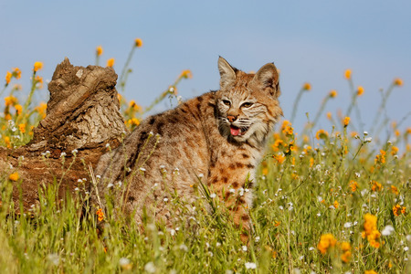 the lynx: Bobcat (Lynx rufus) sitting in a grass with flowers Stock Photo