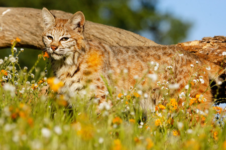 bobcat: Bobcat (Lynx rufus) standing in a grass with flowers