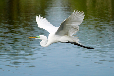 Great Egret (Ardea alba) flying 版權商用圖片 - 64729358