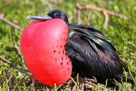 wildlife preserve: Male Great Frigatebird (Fregata minor) on Genovesa Island, Galapagos National Park, Ecuador