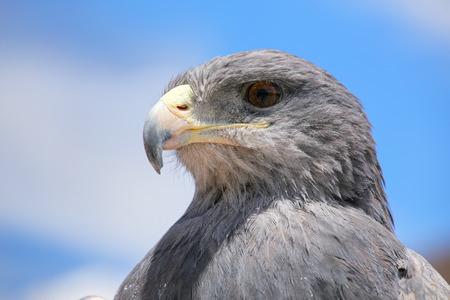 maca: Black-chested buzzard-eagle (Geranoaetus melanoleucus) at the market in Maca, Colca Canyon, Peru.