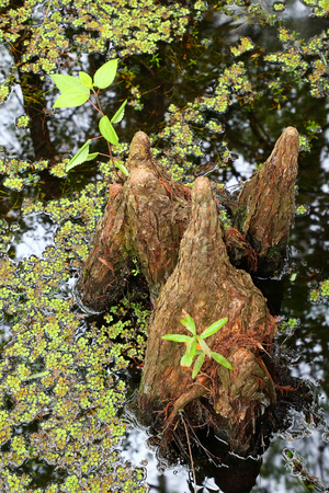 swampy: Bald cypress knees growing in a swampy area in Florida
