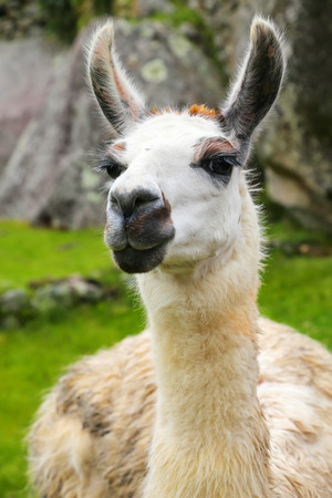 Portrait of llama standing at Machu Picchu, Peru. In 2007 Machu Picchu was voted one of the New Seven Wonders of the World.