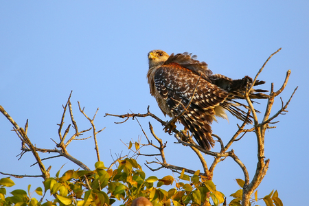 shouldered: Red-shouldered hawk (Buteo lineatus) sitting on a tree