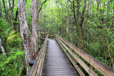 slough: Boardwalk in 6 mile Cypress Slough in Florida