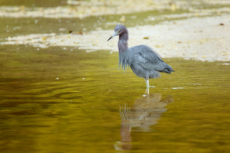 wading: Little Blue Heron (Egretta caerulea) wading in water, Florida Stock Photo