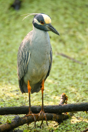 Yellow-crowned night-heron (Nyctanassa violacea) in a swamp