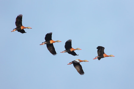 bellied: Black-bellied Whistling-Ducks (Dendrocygna autumnalis) flying in blue sky