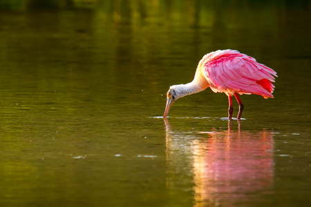 Roseate spoonbill (Platalea ajaja) wading in water Stock Photo