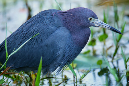 swampy: Little Blue Heron (Egretta caerulea) in a swampy area, Florida