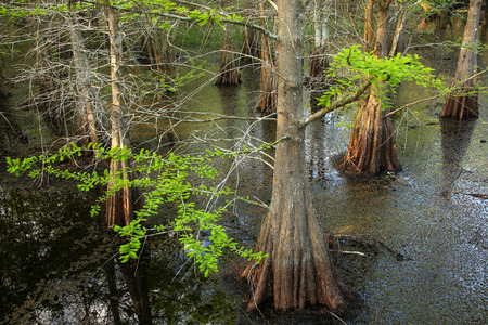 slough: Bald cypress trees growing in 6 mile Cypress Slough in Florida