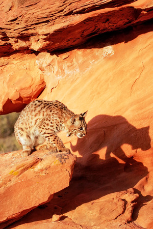 lince rojo: Bobcat (Lynx rufus) standing on red rocks