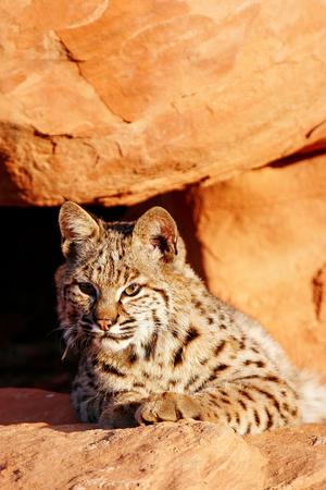 lieing: Bobcat (Lynx rufus) lying on red rocks