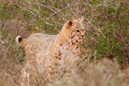 bobcat: Lince rojo (Lynx rufus) de pie cerca de los arbustos
