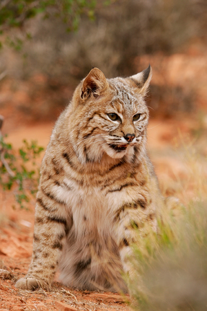 lince rojo: Lince rojo (Lynx rufus) sentado en un desierto