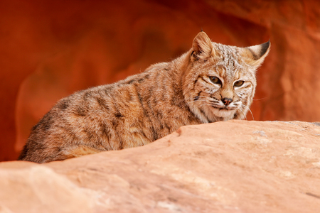 lince rojo: Lince rojo (Lynx rufus) que se sienta en rocas rojas